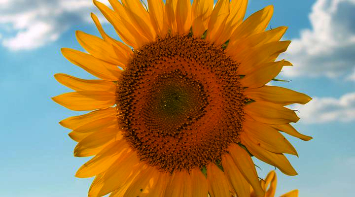 sunflower_converted
